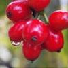 水果摄影 摄影图片下载 樱桃摄影 枇杷果摄影