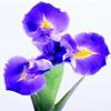 紫色鮮花攝影 喇叭花攝影 高清著名鮮花 攝影圖片下載
