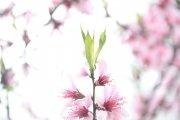 粉色樱花摄影