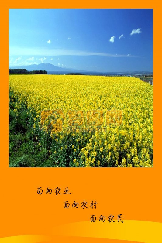 金黃色麥田