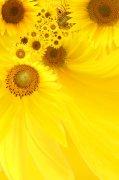 黄色向日葵素材