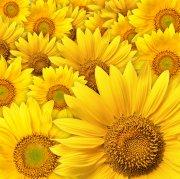 黄色背景向日葵元素