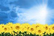 蓝色背景向日葵素材