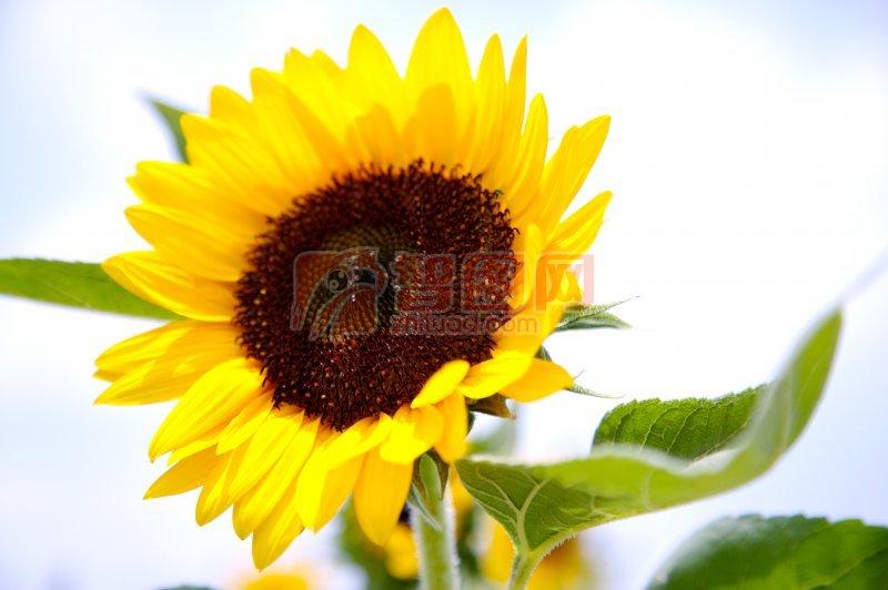向日葵攝影素材
