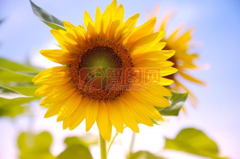向日葵攝影元素