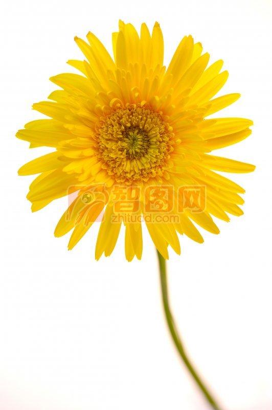 黃色向日葵