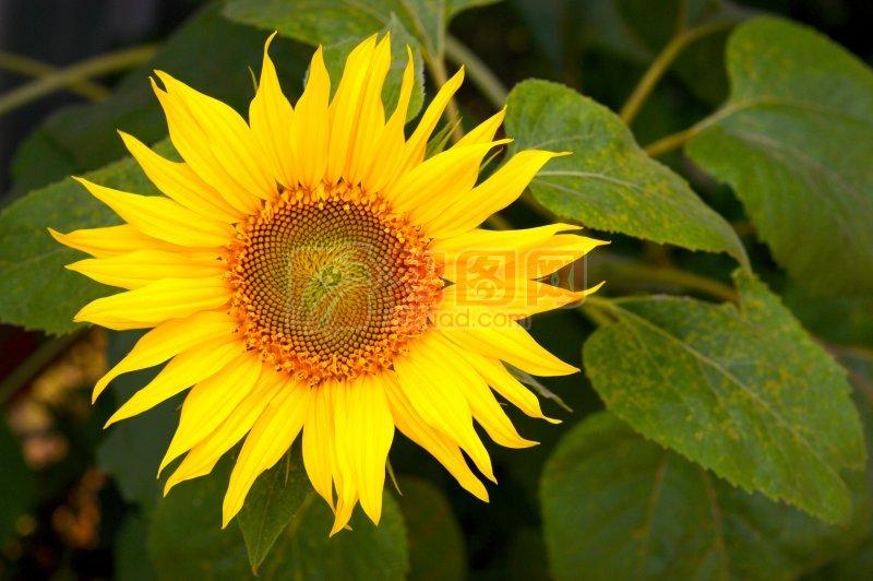 向日葵攝影
