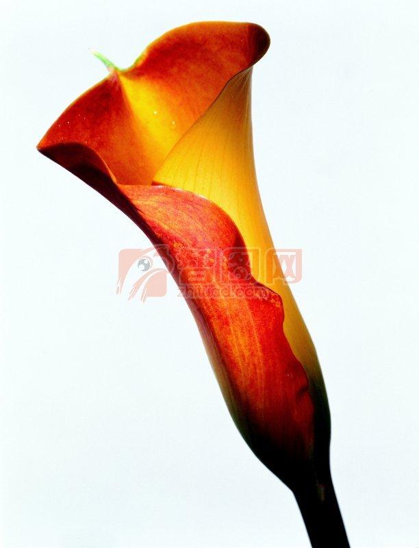 鮮花花瓣元素