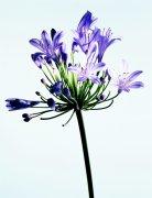 紫色鮮花元素