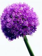 紫色鮮花素材