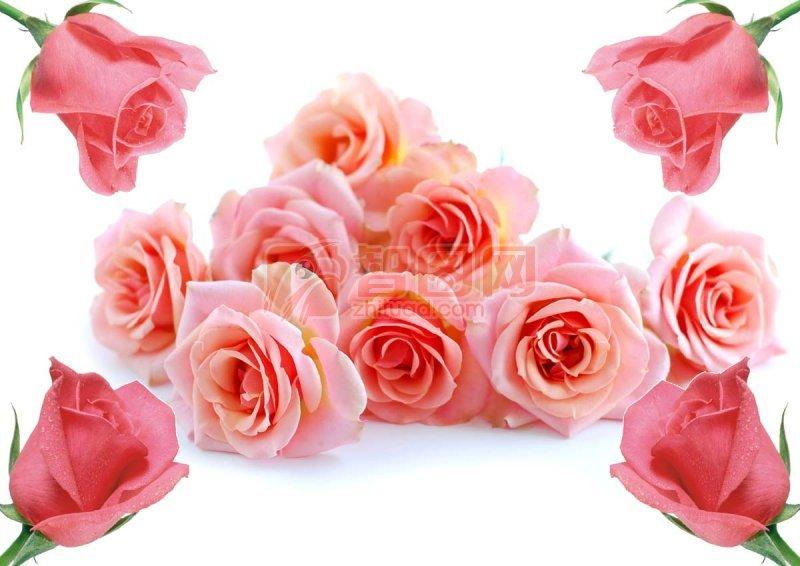 高清玫瑰花 psd高像素玫瑰花素材