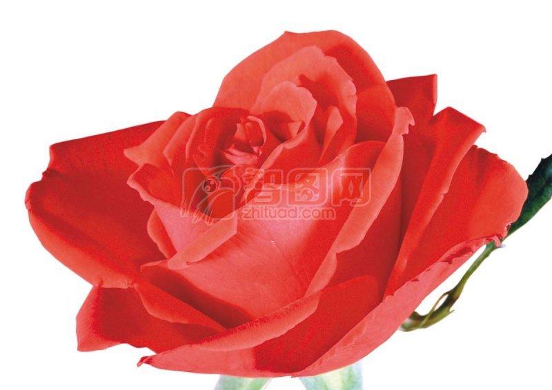 高清玫瑰花02