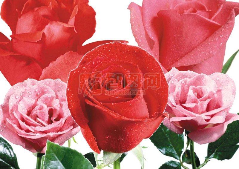 高清玫瑰花 psd高像素玫瑰花素材 玫瑰花素材