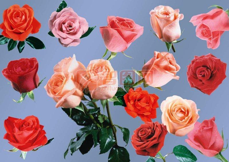 玫瑰花大全 最牛的玫瑰花 psd素材
