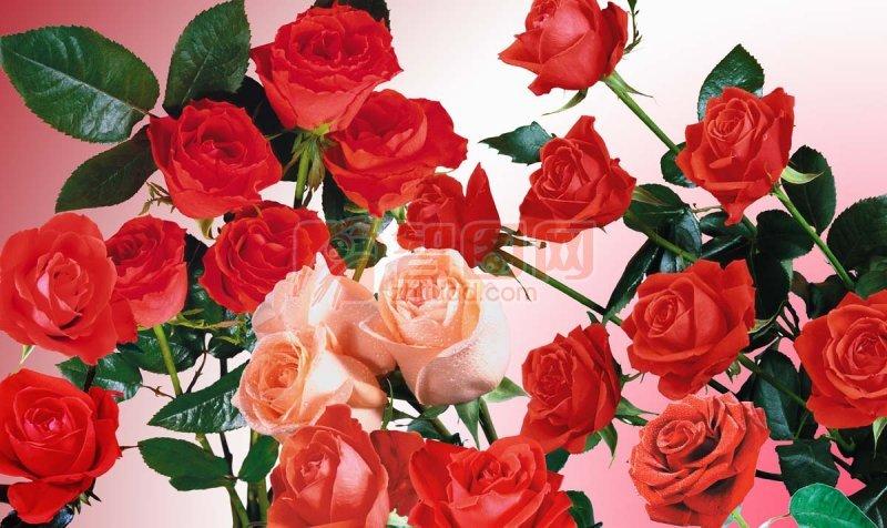 玫瑰花大全 高清玫瑰花 psd高像素玫瑰花素材