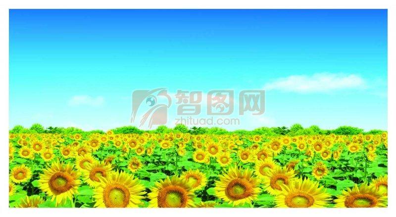 花海向日葵