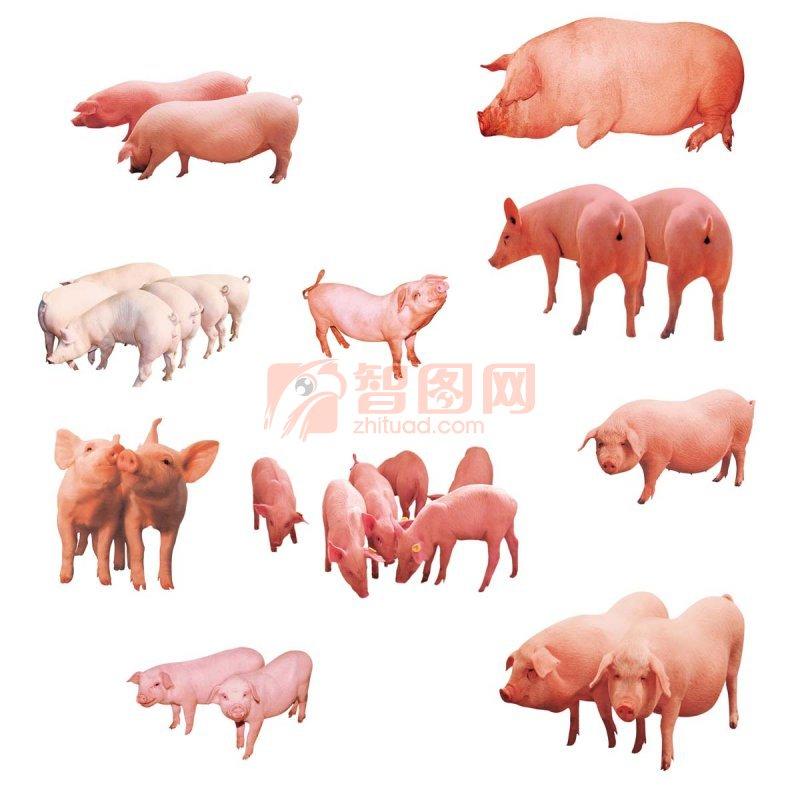 猪 白猪 肥猪