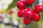 水果摄影 摄影澳门永利赌场网址下载 樱桃摄影 枇杷果摄影