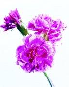 粉红色鲜花元素摄影