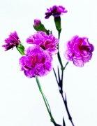 粉红色鲜花素材