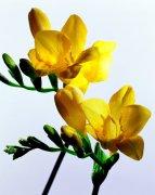 黄色鲜花素材摄影