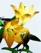 黄色鲜花素材