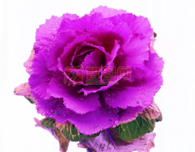 粉红色鲜花摄影