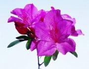 粉红色鲜花