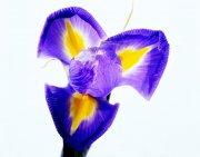 紫色鲜花摄影素材