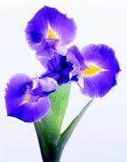 紫色鲜花摄影 喇叭花摄影 高清著名鲜花 摄影澳门永利赌场网址下载
