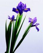 紫色鲜花素材