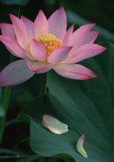 莲花摄影素材