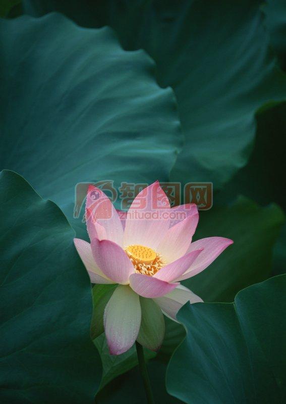 莲花摄影元素