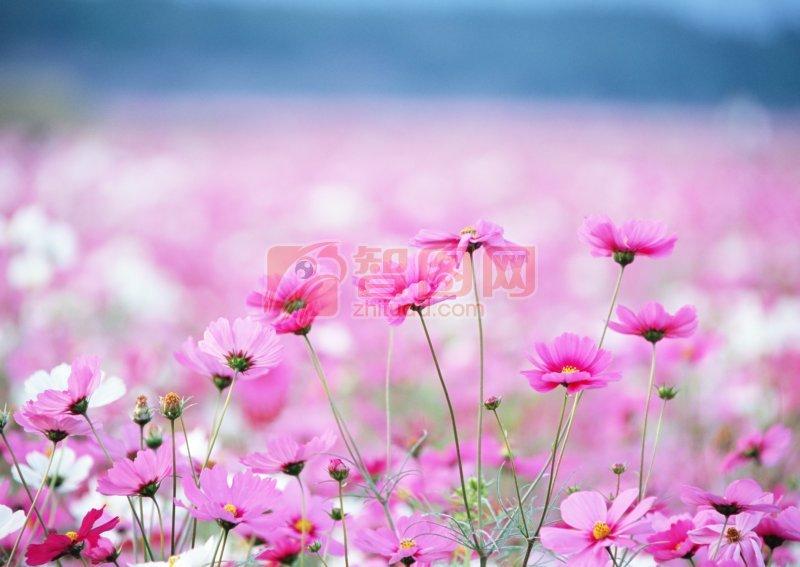 花海 上一张图片:   粉红色鲜花素材 下一张图片:棕灰色背景莲藕素材