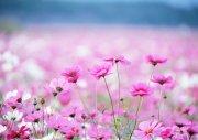 粉红色鲜花花海