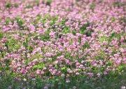 粉色鲜花摄影