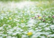 白色鲜花素材