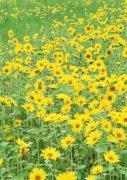 黄色花海摄影