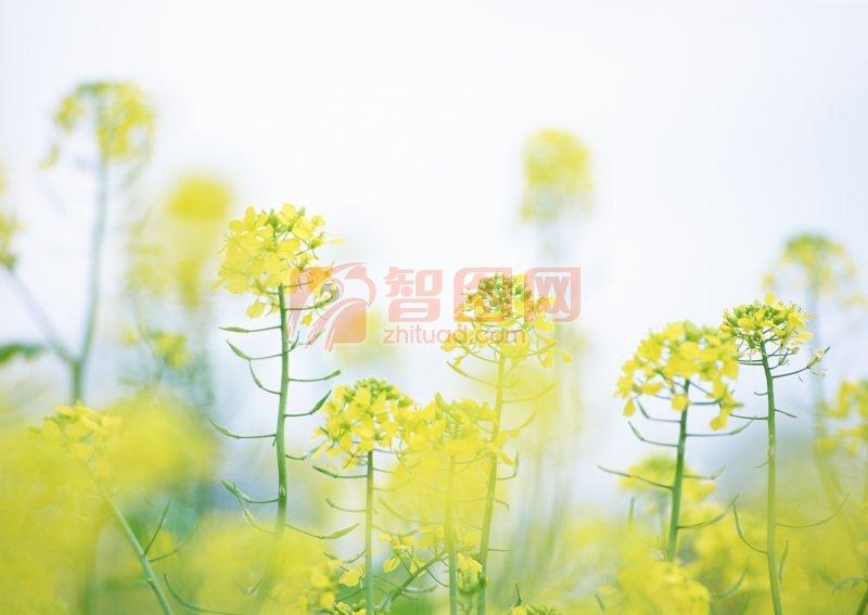 黄色油菜花