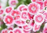粉色鲜花元素