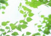 树叶摄影素材