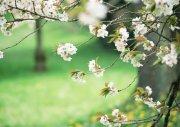 桃花摄影素材
