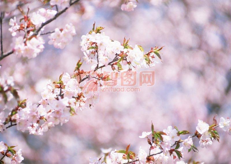粉色桃花素材