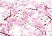 白色背景桃花元素