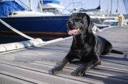黑色宠物狗