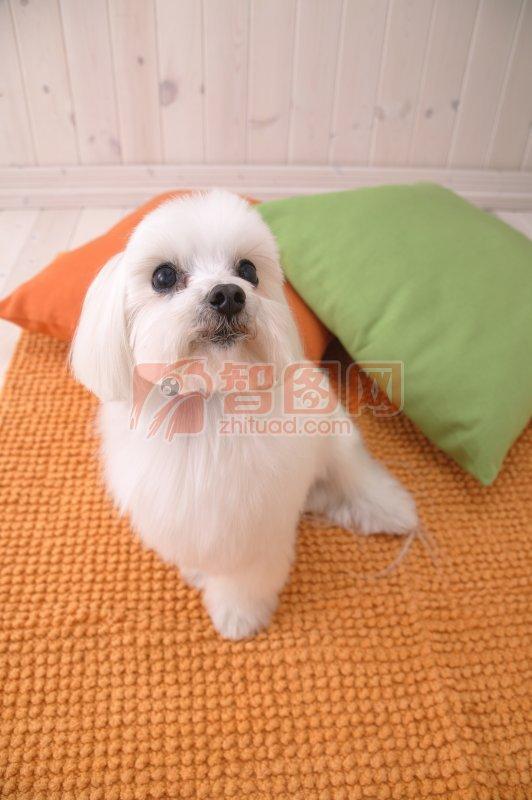 白色宠物狗素材03