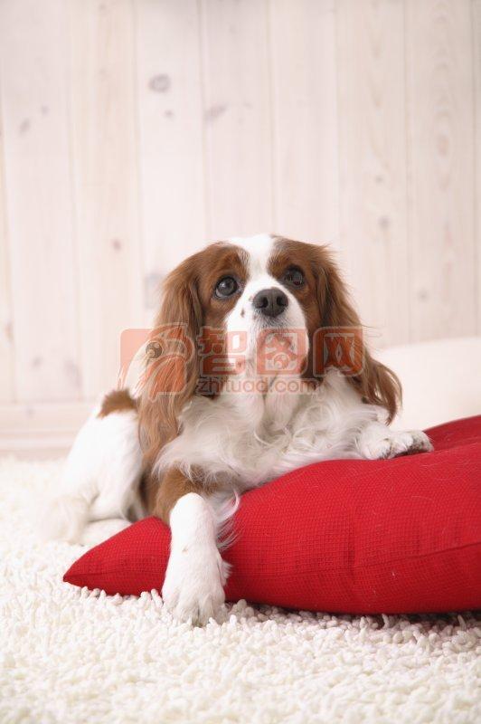 棕白色宠物狗素材04