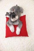 灰白色宠物狗素材03