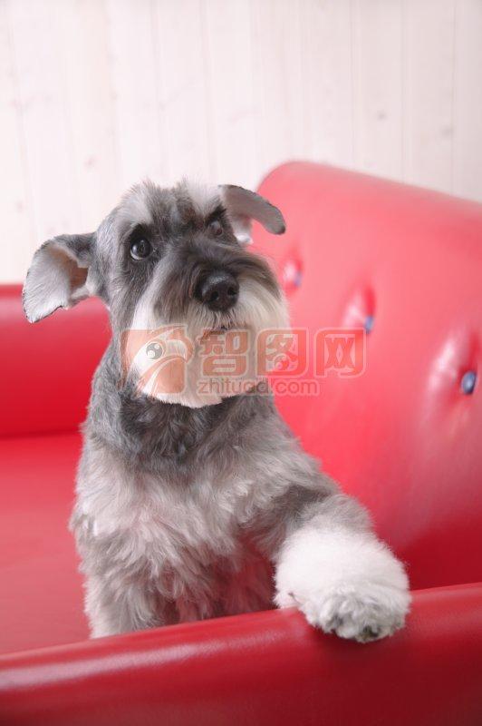 【jpg】灰白色宠物狗素材01