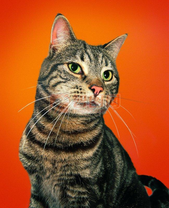 黑色条纹猫咪